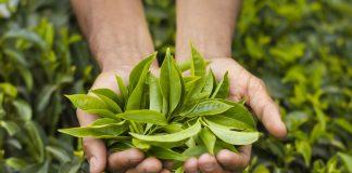 Çay pazarı büyüyor